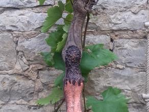 Kunst auf einem Weinstock
