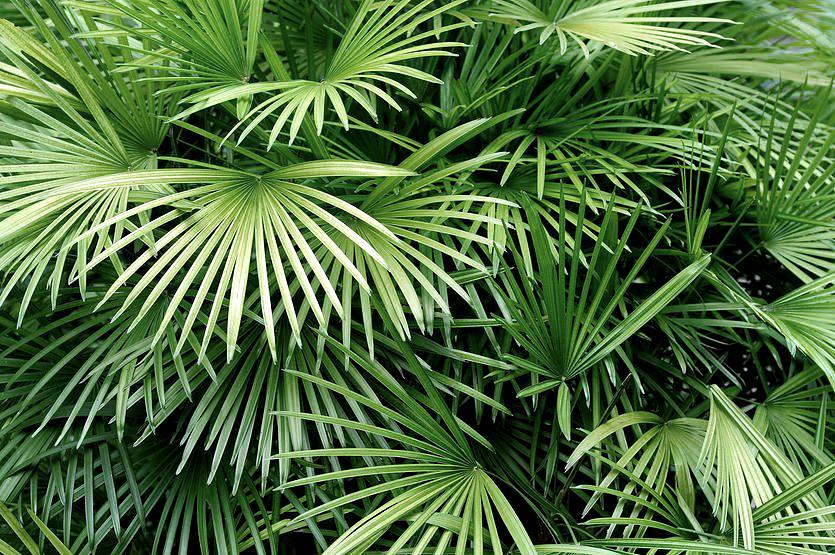 foglie palma.jpg