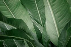 banana-leaves.jpg