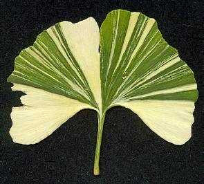 I dream of Ginkgo…