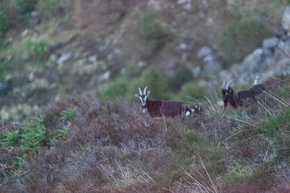 Wild Goats in Scottish Highlands