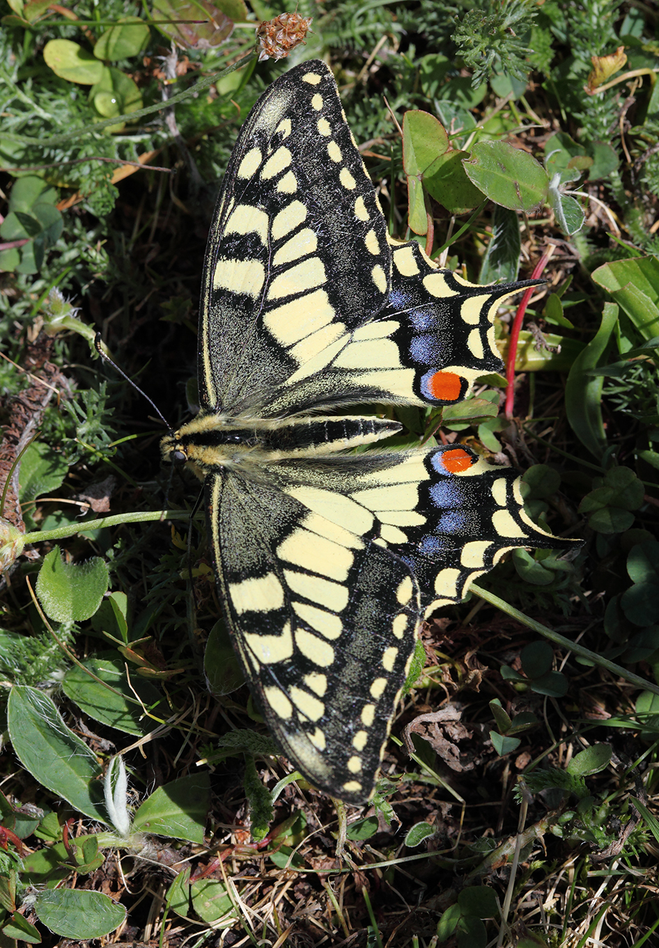 Papilio machaon_LFrechilla