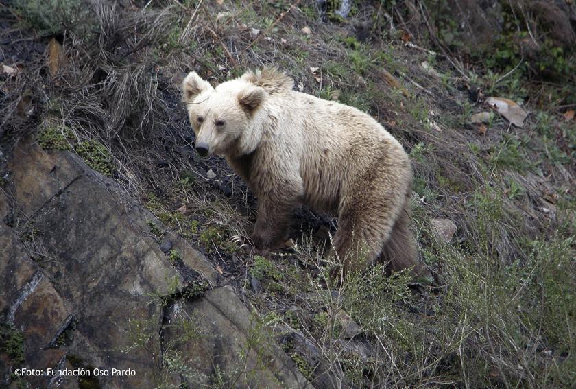 oso subadulto_WB