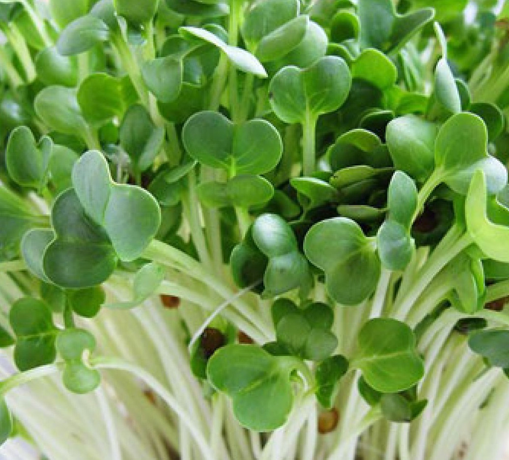 Radish sprouts.jpg