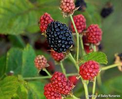 Blackberry Bush