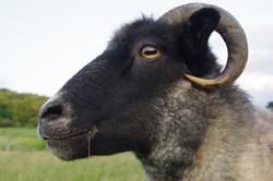 shetland sheep wool