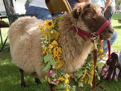 sheep sheep wool