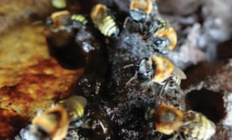Própolis da abelha Manduri pode combater câncer e infecções