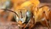 Adoção de Enxame - Uruçu Amarela Rufiventres