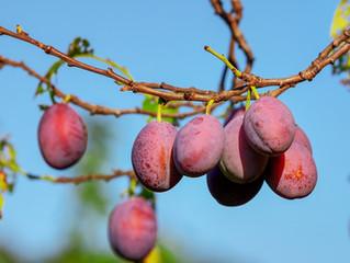 La conservación de los suelos frutícolas como medida de adaptación y mitigación al cambio climático