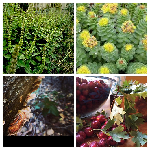 holy basil rhodiola turkey tail mushroom hawthorn berry