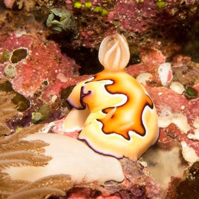Nudibranch Nusa Penida