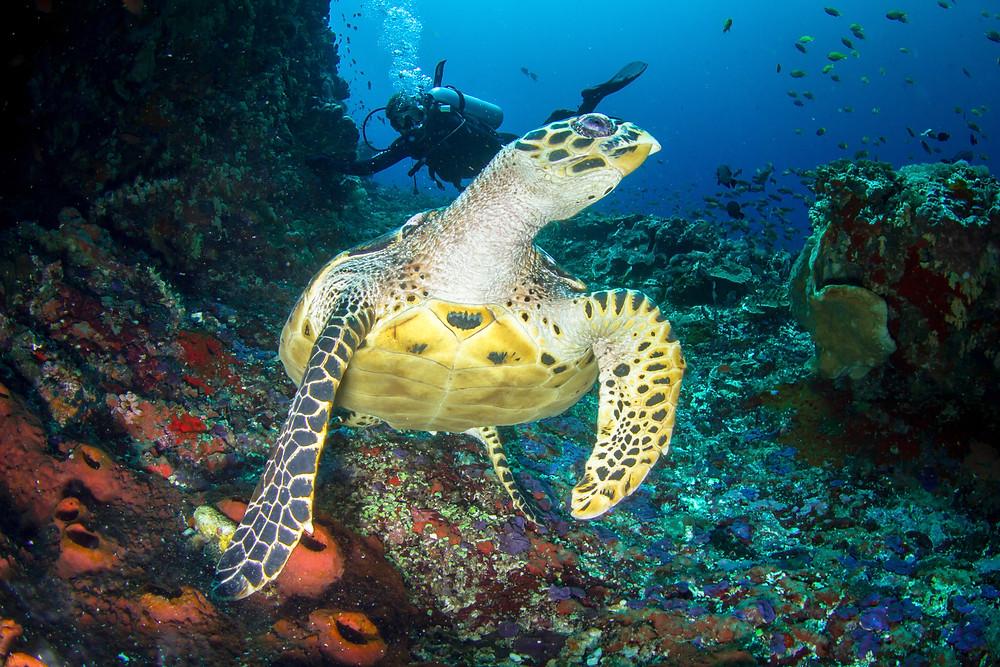 Turtle diving in Nusa Penida