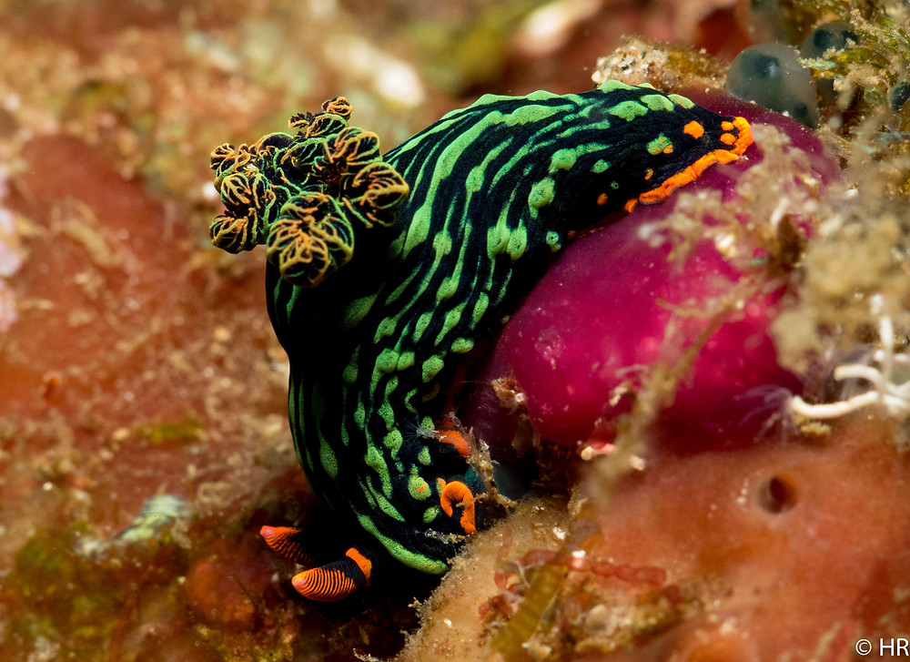 Nembrotha nudibranch, diving Bali