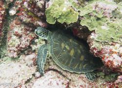 Turtle underwater photography