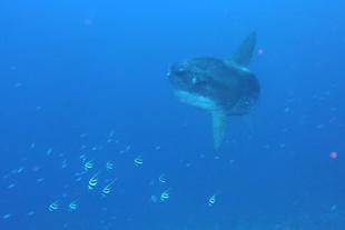 Mon carnet de plongée - n°5 - celle avec une tonne de mola-mola