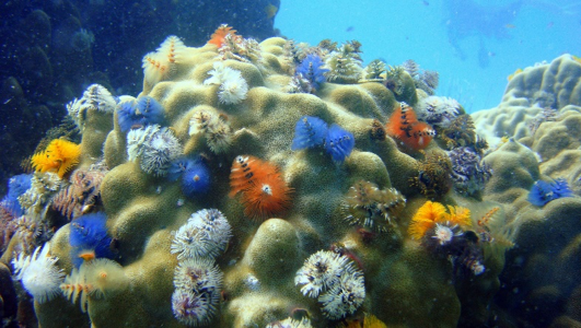 Christmas tree worms in Nusa Penida Bali