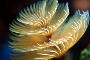 Feather worm Nusa Penida Bali