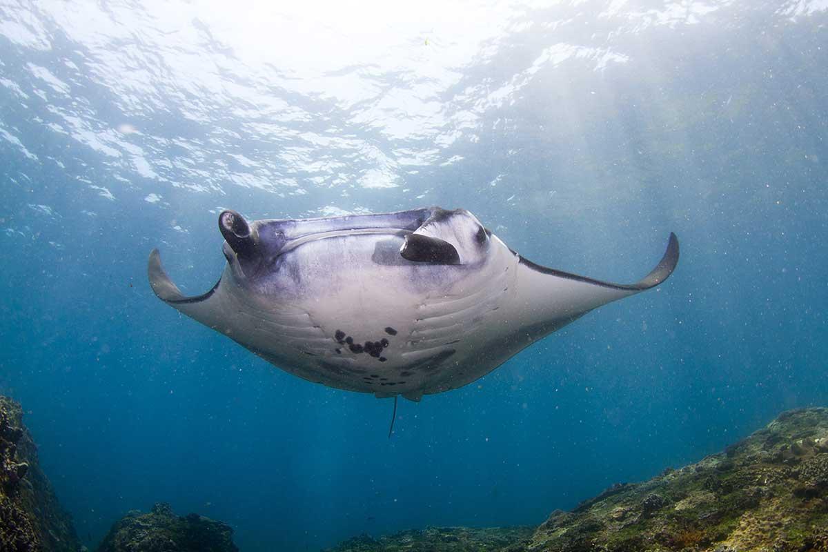 Manta ray Bali