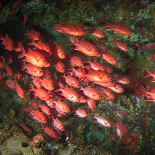 Schooling fish Nusa Penida