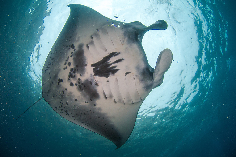 Manta Point Nusa Penida, diving with manta rays