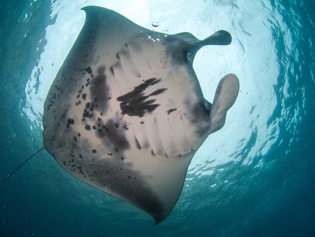 Top 5 marine species around Nusa Penida