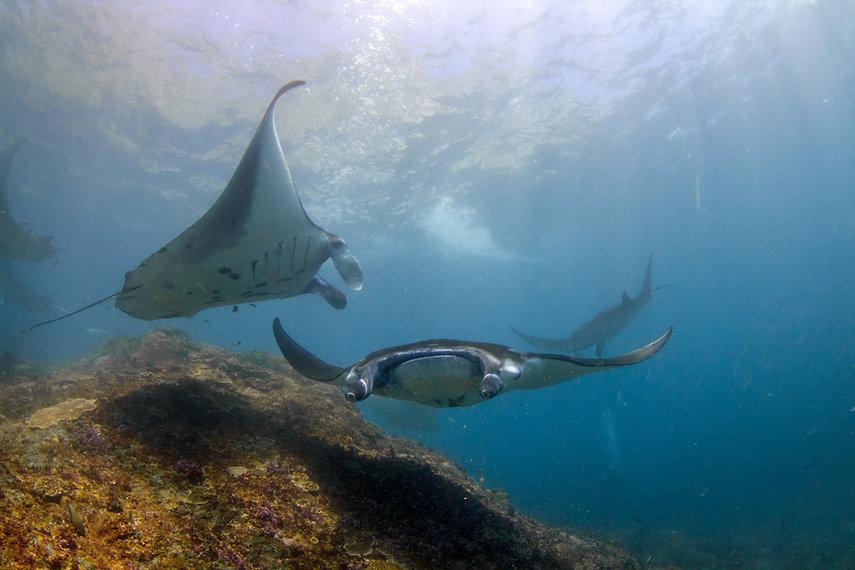 Manta ray diving Nusa Penida