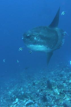 Mola Mola - underwater photography