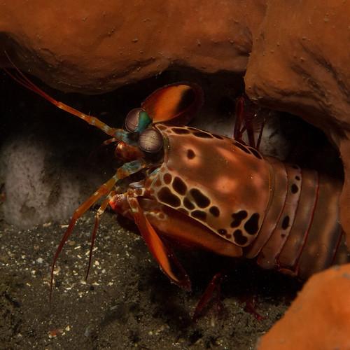 Mantis shrimp Nusa Penida Bali