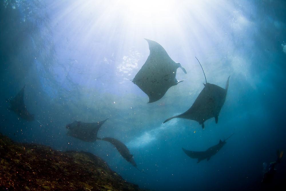 Manta ray diving in Manta Point Nusa Penida