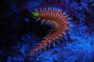 Bristle worm diving Indonesia