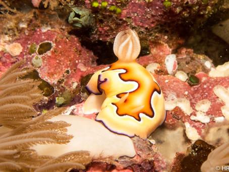 Nudibranches around Nusa Penida