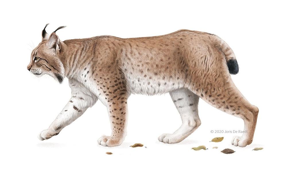 Eurasian Lynx © Joris De Raedt