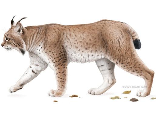 Eurasian Lynx – Natuur.blad