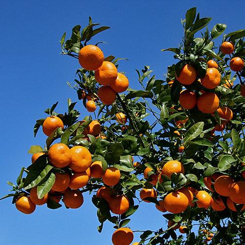 Mandarijn - Mandarin 10 ml