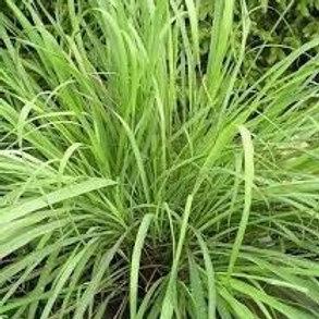 Lemongrass 10 ml