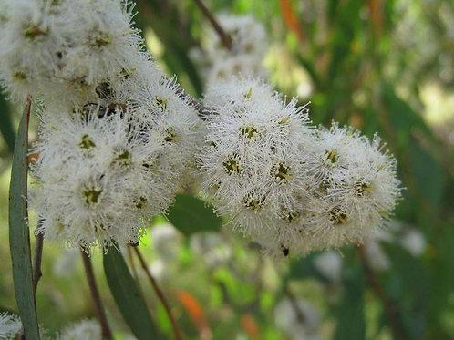 Eucalyptus 10 - 50 ml