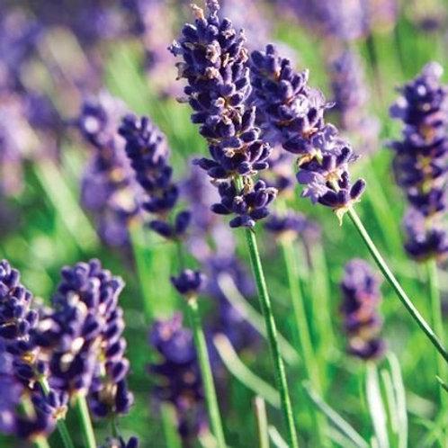 Lavendel - lavender 10 - 50 ml
