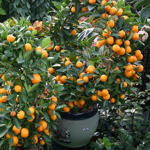 Mandarijn tangerine 10 ml