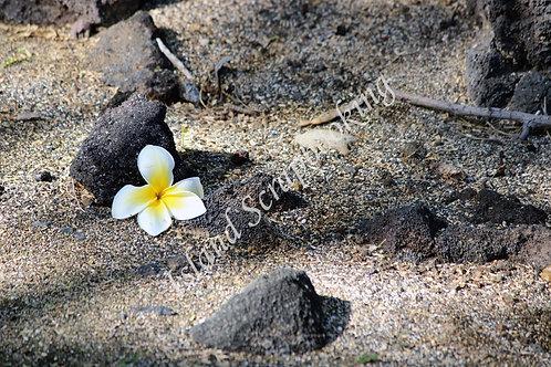 Plumeria on Black Sand