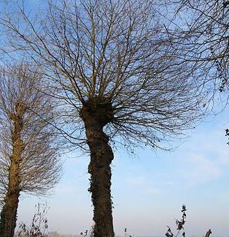 """Connaissez-vous les arbres """"trognes"""" ?"""