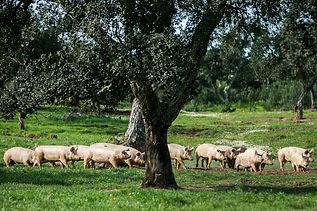 porcos-go-organic-vida-rural-3.jpg