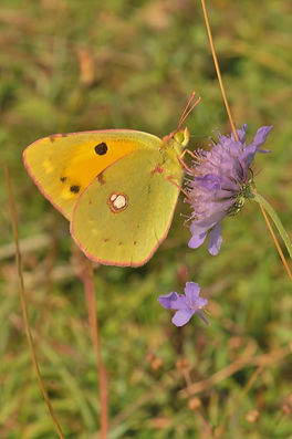 Clouded Yellow Naor Hill Aug 2014.jpg