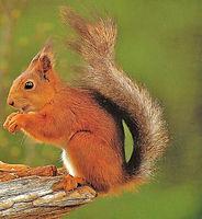 Red Squirrel 1 (943x1024).jpg