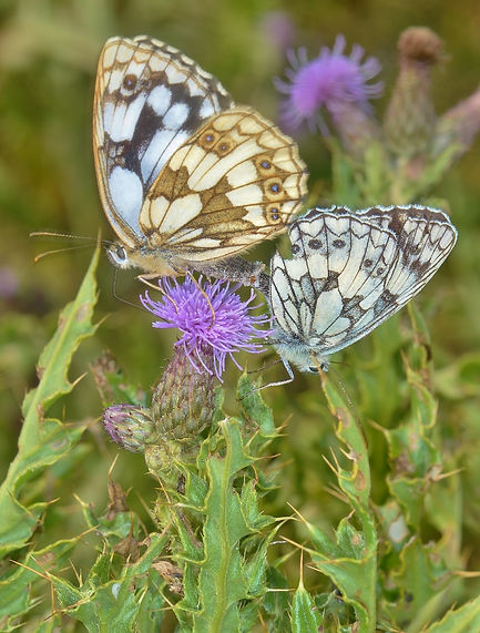 Mating Marbled Whites Milton Lock Foresh