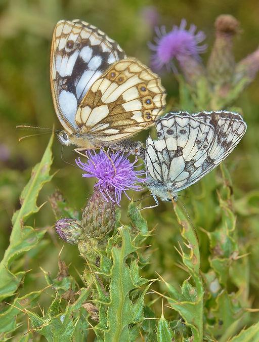 Mating Marbled Whites Milton Lock Foresh