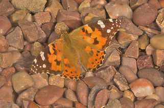 Painted Lady in front Garden June 2015.j