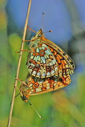 Small Pearl Bordered Fritillary mating (