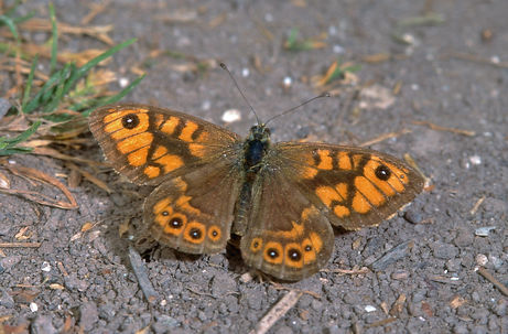 Male Wall Brown St Boniface Down.jpg