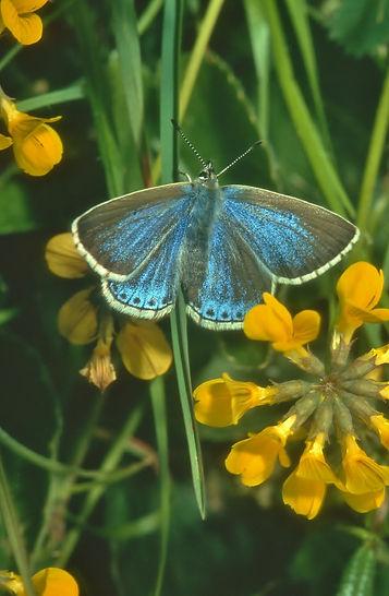 Female Adonis Blue and Horseshoe Vetch (